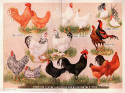Satiety, Potatoes, and Chicken Breeds